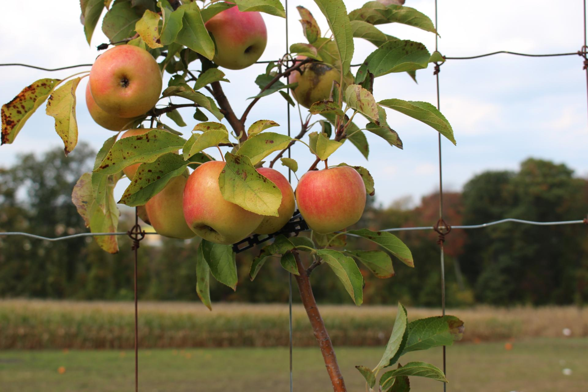 LOCAL: Apple Picking and Pumpkin Patching at Riamede Farm by popular New Jersey blogger What's For Dinner Esq.